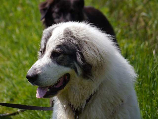 großer pyrenäen hund